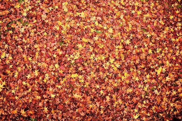 Fall leaves indicating the seasonal change in Kyoto, Japan..jpeg